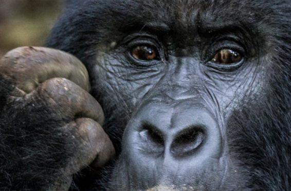 gorilla safari adventure in Africa