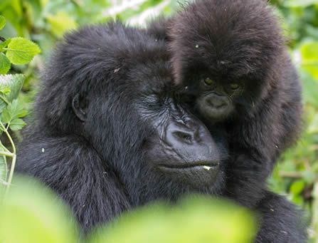 gorilla safari in Bwindi